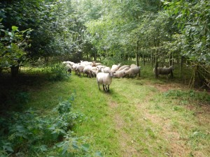 Sheep in Woodland