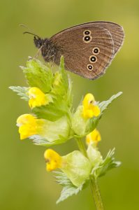 ringlet on yellow rattle by Ross Hoddinott/2020VISION